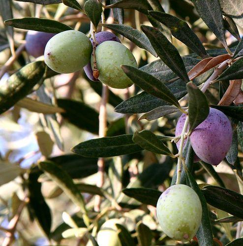 Olive day, la raccolta delle olive con Voi!